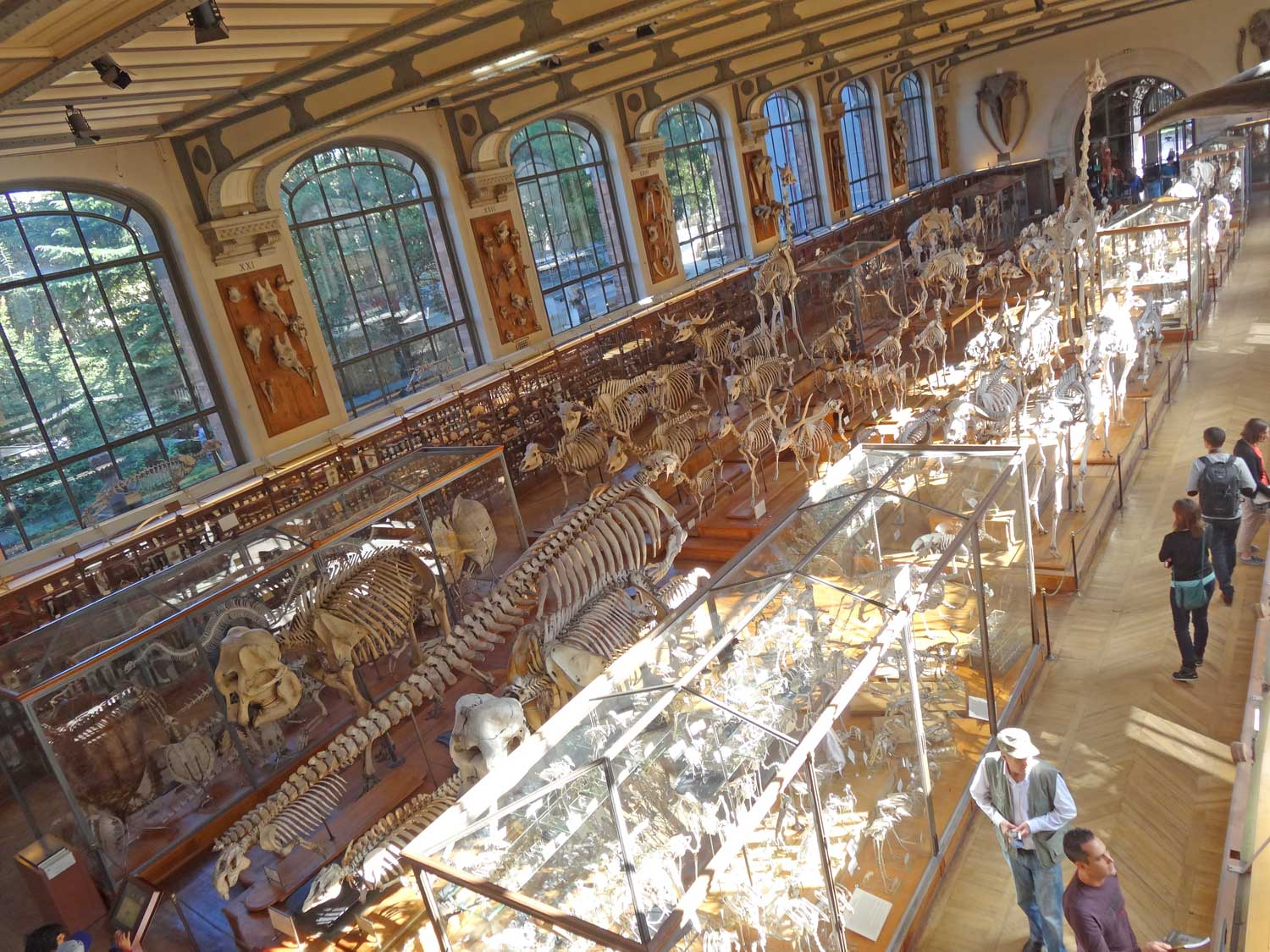 Rows of skeletons of animals in a Paris museum